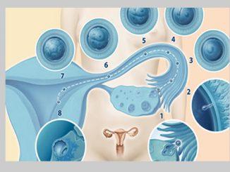 Befruchtung und Einnistung bei graviditas